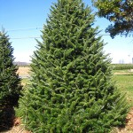 The Canaan (Silver Fir)