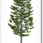 The Lodgepole Pine